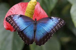 Butterfly blue-morpho-784979_1280