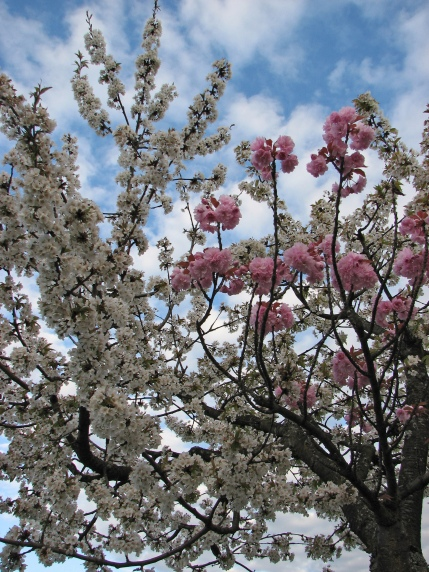 Grafted_blossoming_tree_unidentified_white_pink