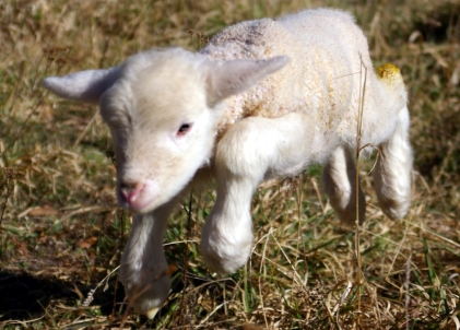 Lamb_first_steps_(edited)