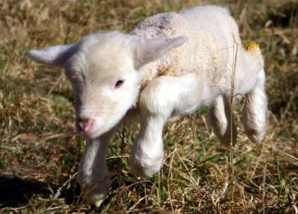 Lamb_first_steps_(edited)